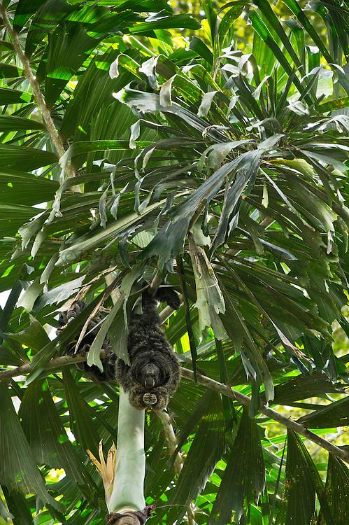 Equatorial Saki (Pithecia aequatorialis) with radio collar<br /> Tiputini Biodiversity Station, Adjacent to  Yasuni National Park, Amazon Rainforest<br /> ECUADOR. South America<br /> HABITAT & RANGE: Rainforests of Ecuador and Peru
