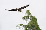 An adult Bald Eagle (Haliaeetus leucocephalus) flies with a caught fish at Big Beef Creek near the Hood Canal of Puget Sound, Washington, USA