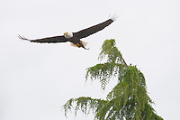 An adult Bald Eagle (Haliaeetus leucocephalus) flies with a caught fish at Big Beef Creek near the Hood Canal of Puget Sound, Washington, USA