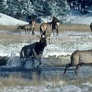 Elk, (Cervus elaphus) bull crosses shallow river in Elk Park; begins chase of cow in estrus. Fall rut.