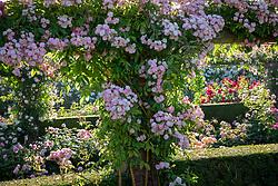 Rosa 'Dentelle de Malines' syn. 'Lenfiro' growing on a pergola