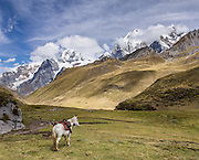 A saddled horse in Yanayana Valley below Siula Grande and Yerupaja Grande (right 6635 m / 21,770 ft, Peru's 2nd highest peak). Day 2 of 9 days trekking around the Cordillera Huayhuash in the Andes Mountains, Peru, South America. This panorama was stitched from 2 overlapping photos.