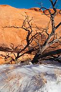 Pinion Pine (Pinaceae Pinus edulis) Arches National Park, Utah, winter