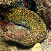 Goldentail Moray inhabit shallow to mid-range reefs, hide during day in recesses often extending head from openings, in Tropical West Atlantic; picture takenSt. Vincent
