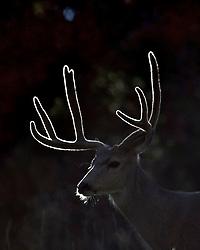 Backlight lights up the velvet of a Mule Deer Buck's antlers in Grand Teton National Park