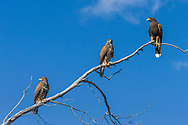 Thee Harris Hawks (Parabuteo unicinctus), two immature  and one adult, perched on a tree branch with blue sky in the Sonoran Desert of Tucson (Arizona)