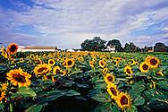 Sunflowers, New York, Riverhead, Roanoke Farm,North Fork