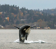 A southern resident orca breaches near Vashon Island. (Steve Ringman / The Seattle Times, taken under NOAA permit #21348, 2018)
