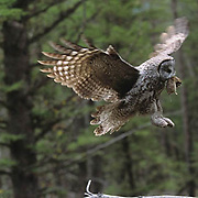 Great Gray Owl, (Strix nebulosa)  Male flying in bringing vole to female nesting with chicks. Montana.