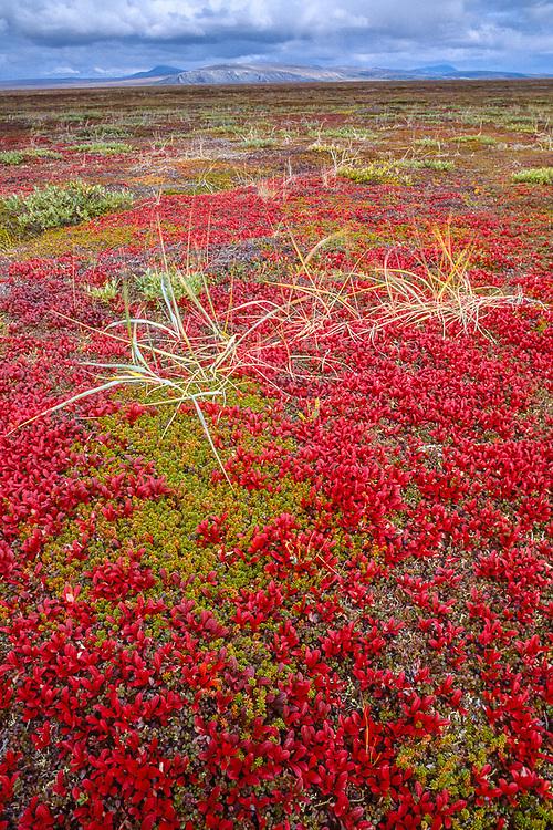 Bearberryand grasses on beach ridges near Krusenstern Lagoon, Cape Krusenstern National Monument, Alaska, USA