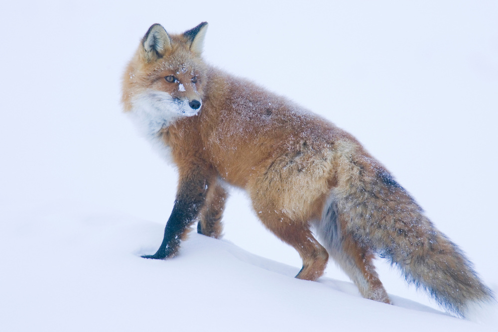 A red fox looks up from hunting voles under the snow on the arctic coastal plain
