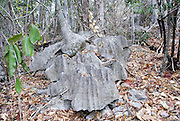 Madagascar, Ankarana Special Reserve. Tsingy - eroded limestone  Large base of an Adenia tree