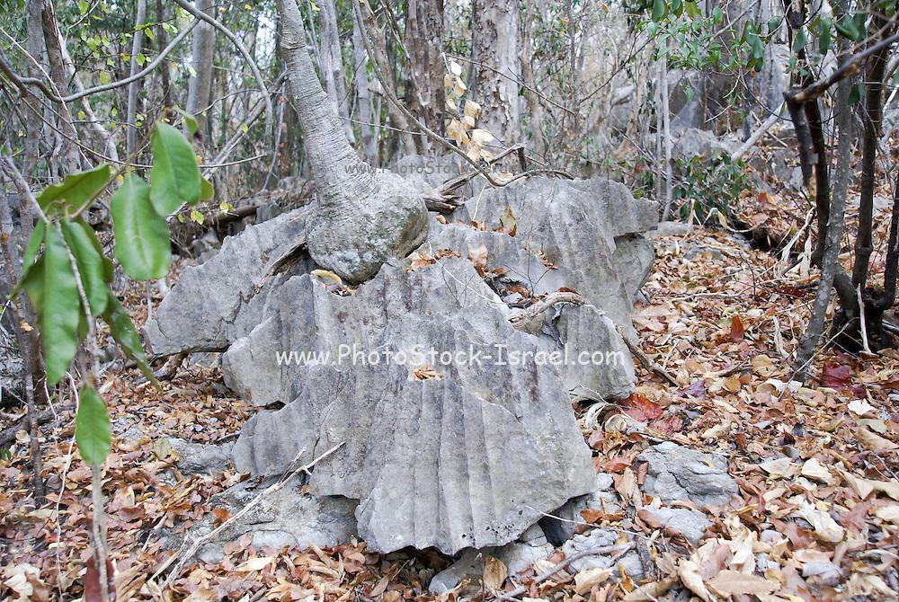 Madagascar, Ankarana Special Reserve. Tsingy - eroded limestone  Large base of an Adenia tree
