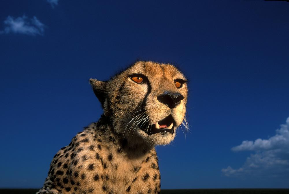 Africa, Kenya, Masai Mara Game Reserve, Flash-lit portrait of Adult Female Cheetah (Acinonyx jubatas) resting on savanna