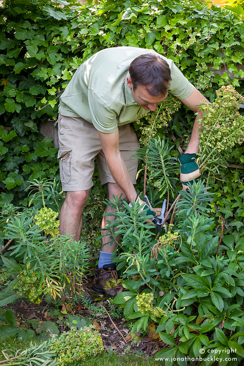 Deadheading a euphorbia in summer after it has finished flowering. Wearing gloves to protect from sap.