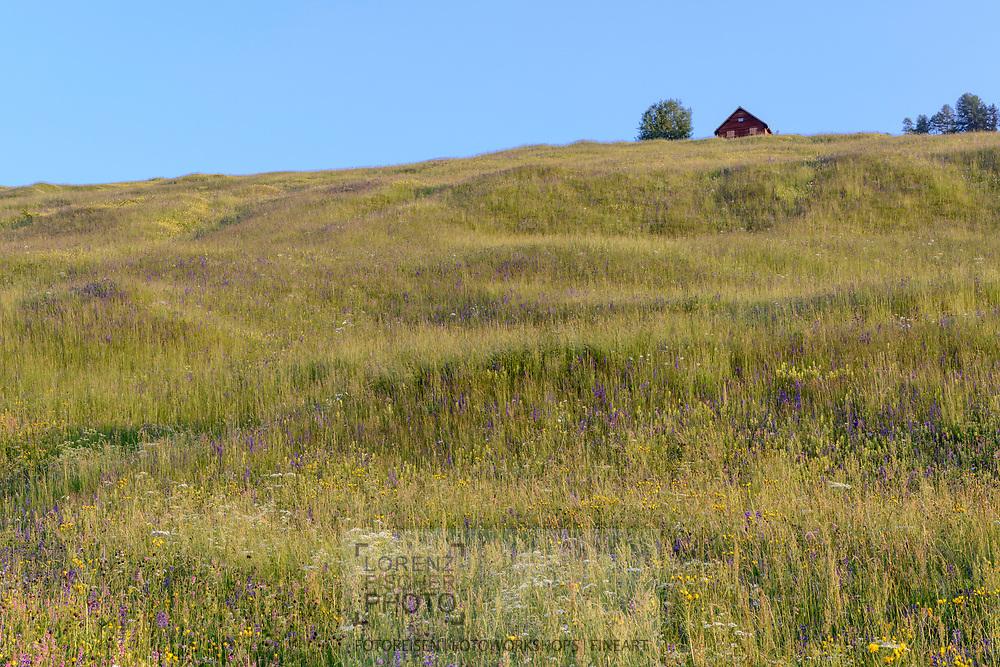 Blumenwiesen und Blüten an einem Frühlingstag im Juni an den Südhängen oberhalb des unterengadiner Dorfes Sent