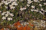 Hood Phlox wildflowers growing on liuchen encrusted sandstone along the Rocky Mountain /Front near Choteau, Montana, USA