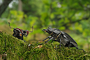 Stag beetle (Lucanus cervus) male and female during courtship. Niedersechsische Elbtalaue Biosphere Reserve, Elbe Valley, Lower Saxony, Germany | Hirschkäfer Männchen (Lucanus cervus) links und Hirschkäfer Weibchen rechts