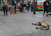 Street dogs are abundant in the busy downtown streets of Valparaiso.
