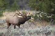 Bull elk during the fall rut in Wyoming