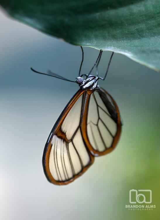A macro shot of a Glasswinged Butterfly (Greta oto) on a leaf.