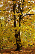 Beech tree during autumn in Oxfordshire, England RESERVED USE - NOT FOR DOWNLOAD -  FOR USE CONTACT TIM GRAHAM