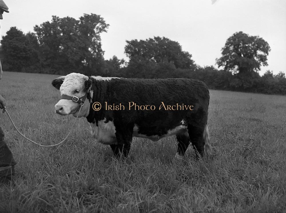 """21/08/1959<br /> 08/21/1959<br /> 21 August 1959<br /> Pedigree Bulls and Heifers for Coras Trachtala. Mr. G.A. Russell, Dingle House, Kilternan, Co. Dublin with his bull """"Kilternan Little Gem 5th""""."""