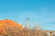 Black chinned sparrow, (Spizella atrogularis), Arches National Park, Utah.
