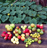 numerous varieties of english apples on a table