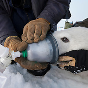 John Whiteman and Hank Harlow, both from the University of Wyoming, collect breath from a polar bear for a breath analysis experiment. Arctic Ocean