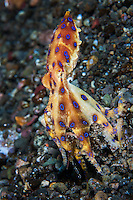A Blue Ringed Octopus carries a potential meal 3/7<br /> <br /> This is a series of 7 images, taken over a period of several minutes, of one individual.  It has just captured something unidentifiable, presumably as a meal.  The color and blue ring variations the octopus displays are remarkable.<br /> <br /> Shot in Indonesia