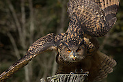 Eurasian Eagle Owl with prey at the Center for Birds of Prey November 15, 2015 in Awendaw, SC.