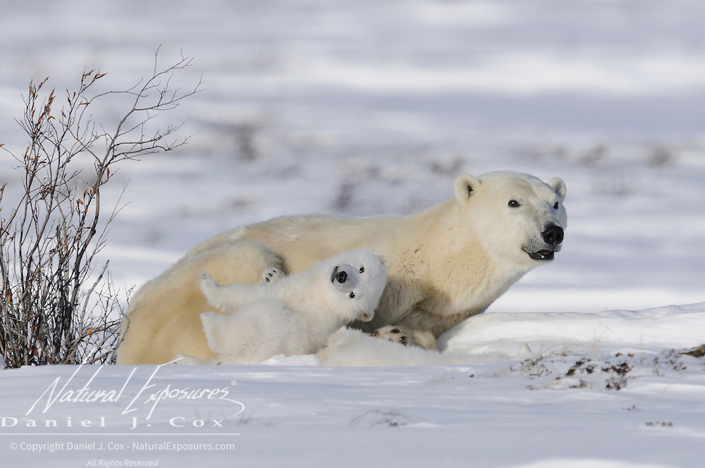 Polar Bear (Ursus maritimus) mother and cubs recently out of the den. Western Hudson Bay population, Manitoba, Canada