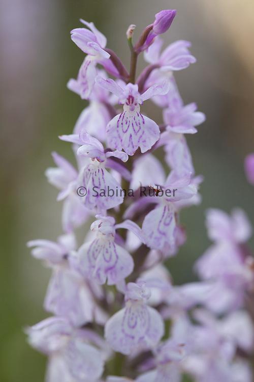 Dactylorhiza majalis - broad-leaved marsh orchid