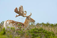 Fallow deer, Dama dama, Point Reyes National Seashore, California.  Native to the Mediterranean and Asia Minor, fallow deer were introduced to the Pt. Reyes area in the 1940s, before the National Seashore was established.  The National Park Service plans to remove all non-native deer from Pt. Reyes.