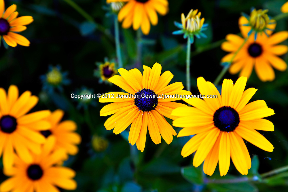 Browneyed Susan (Rudbeckia triloba) flowers in a garden. WATERMARKS WILL NOT APPEAR ON PRINTS OR LICENSED IMAGES.