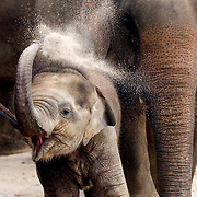 """NORTHERN THAILAND - MARCH 3: Elephants bathe and """"dust"""" regularly to protect their sensitive skin from sunburn and infection. Here one throws dirt on its back after exiting a river in Northern Thailand, applying mud and dirt as a """"sunscreen."""" Asian elephants - strong, social, and intelligent - have been trained for thousands of years for use in transportation, labor, and ritual. In Thailand, Elephants are of immense cultural importance, but their numbers are shockingly plummeting. In 1905, there were over 100,000 elephants in this land - now they are estimated at less than 5,000 - of which barely half are in the wild. (Photo by Logan Mock-Bunting"""