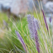 Close-up photograph of wild purple fountain grass.  This was shot in the deserts of Southern California in an Oasis.