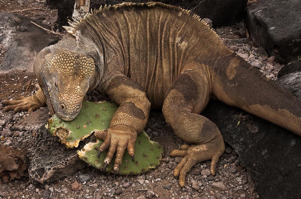Santa Fe Land Iguana (Conolophus pallidus)<br /> Santa Fe Island<br /> Galapagos Islands<br /> ECUADOR.  South America<br /> ENDEMIC TO SANTA FE ISLAND