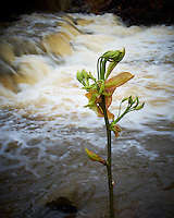 Emerging Spring Tree Leaves the Survived the Flooding Along Rock Brook Last Night. Spring Nature in New Jersey. Image taken with a Fuji X-T1 camera and 23 mm f/1.4 lens (ISO 200, 23 mm, f/16, 1/17 sec).