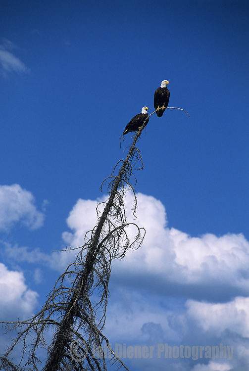 A pair of bald eagles in Grand Teton National Park, Wyoming.