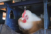 Poultry breeding farm. Hens and Roosters in a coop. Hens lay fertilized eggs in a battery Photographed in Israel