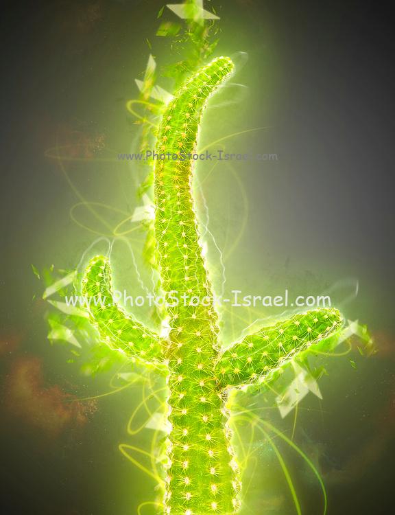 Digitally enhanced image Of a Thorny Peanut Cactus (Echinopsis chamaecereus)