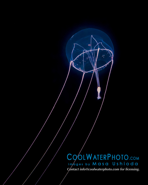unidentified hydromedusa, Subclass Hydromedusae, bioluminescent, highly venomous, offshore at night, Kona Coast, Big Island, Hawaii, USA, Pacific Ocean