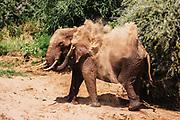 A  large dominant male elephant (Loxodonta africana) dusting, Samburu, Kenya, Africa