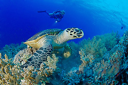 Eretmochelys imbricata, Echte Karettschildkröte am Korallenriff und Taucher, Hawksbill Sea turtle in coralreef and scuba diver, Brother Inseln, Rotes Meer, Ägypten, Brother Islands, Red Sea Egypt