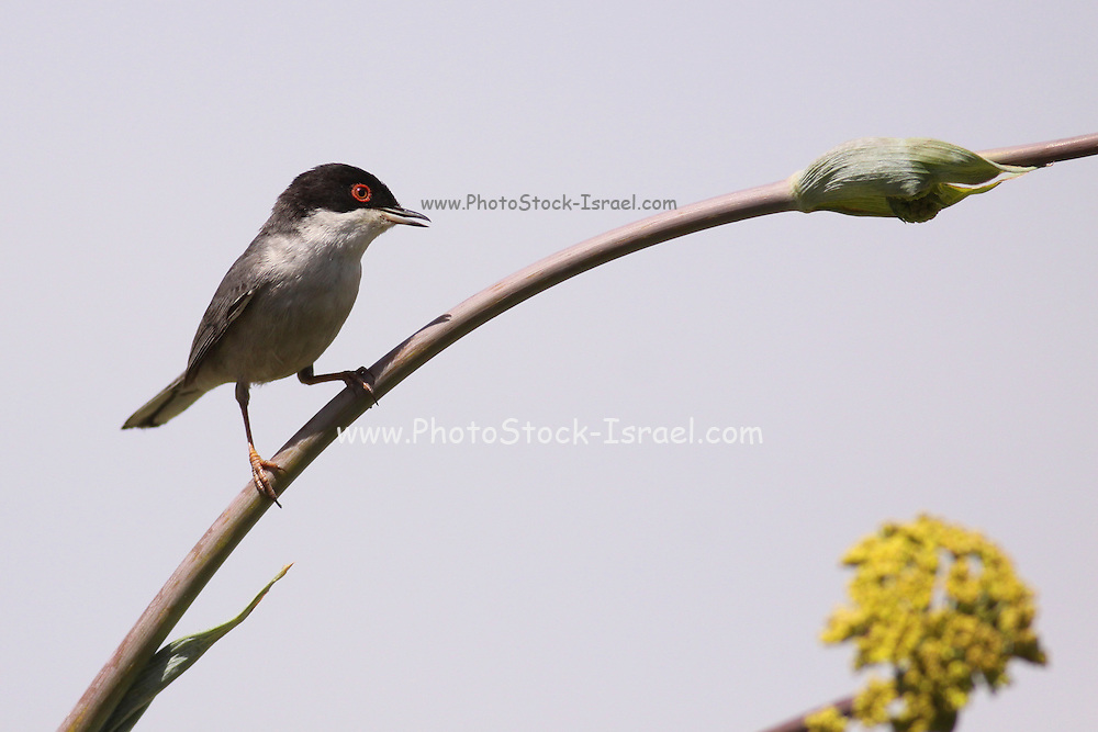 Sardinian Warbler, (AKA Black Headed Warbler) Sylvia melanocephala, is a common and widespread typical warbler from the Mediterranean region Photographed in Israel