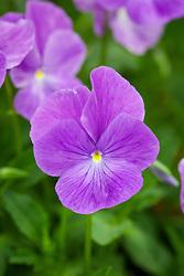 Viola 'Lavender Lady'