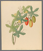 Cucumis, Melothria pendula [Coccinea quinqueloba] from a collection of ' Drawings of plants collected at Cape Town ' by Clemenz Heinrich, Wehdemann, 1762-1835 Collected and drawn in the Cape Colony, South Africa