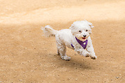 White Maltese Dog Running Wearing a Harness